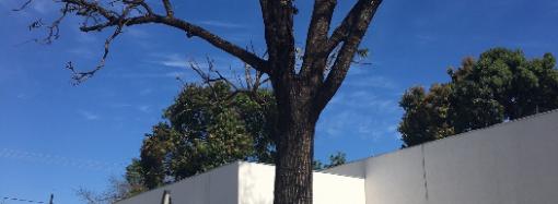 Ritual para salvar um cedro centenário cujo tronco foi covardemente queimado